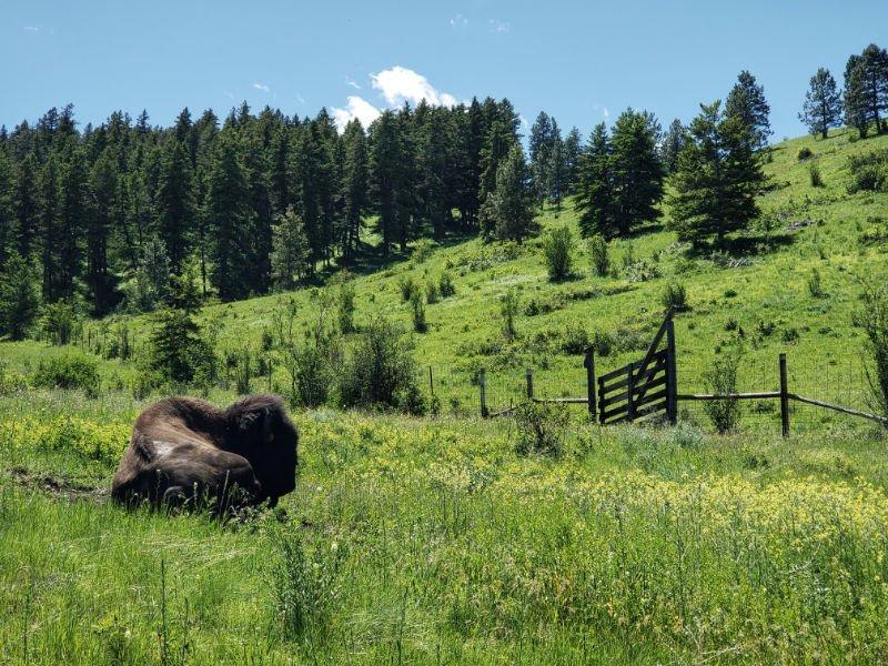 Buffalo resting on wild green grasses